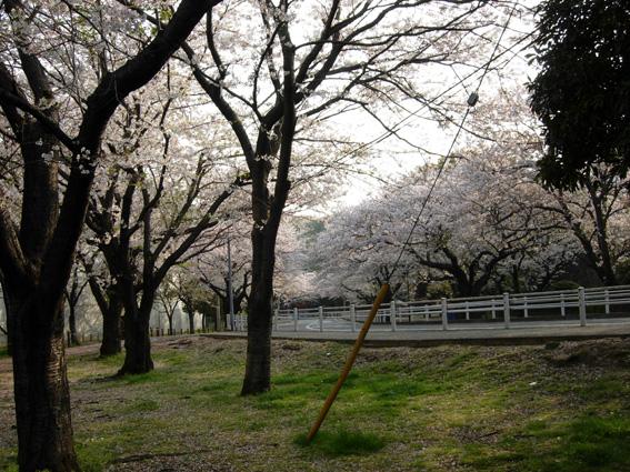 桜の満開の下・・・は?_c0035838_15354191.jpg