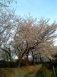 桜だより@坂横浜公園_b0095061_12592467.jpg