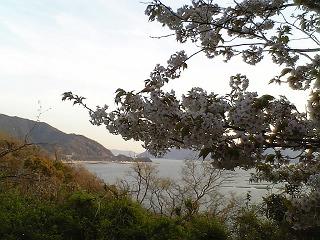 桜だより@坂横浜公園_b0095061_12594857.jpg