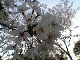 桜だより@坂横浜公園_b0095061_12595611.jpg