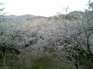 桜だより@坂横浜公園_b0095061_1259892.jpg