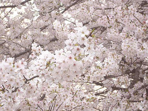 桜咲く 入学式 と 聖土曜日。。。 *。:☆.。†  _a0053662_1334616.jpg