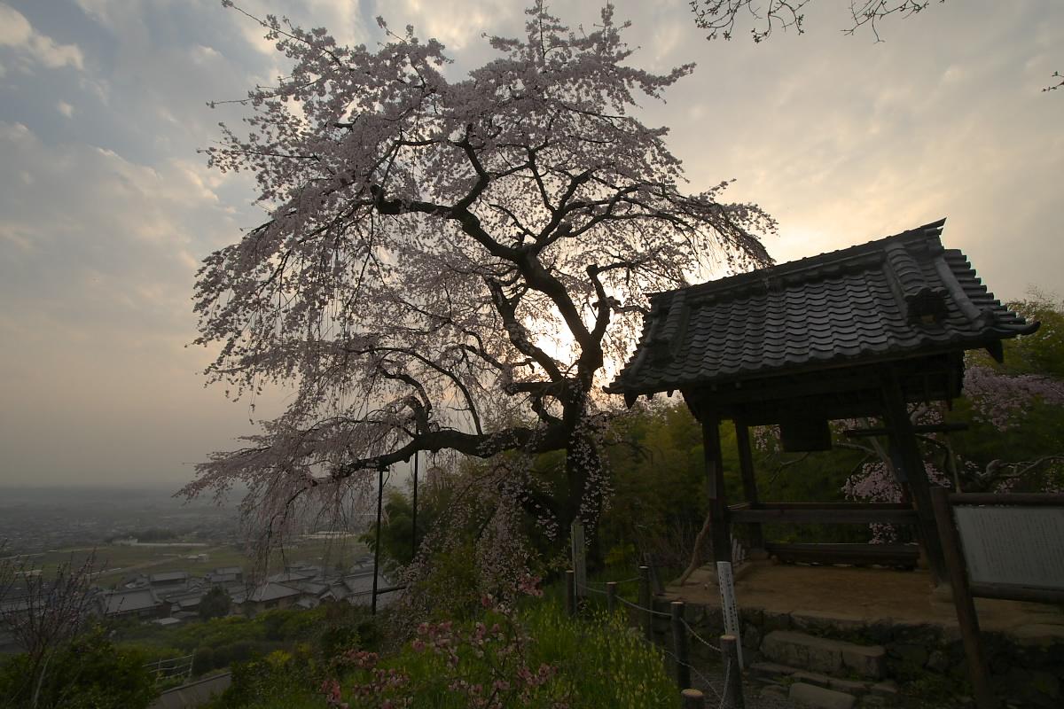 京都 井手町 地蔵禅院 枝垂れ桜 _f0021869_8245598.jpg