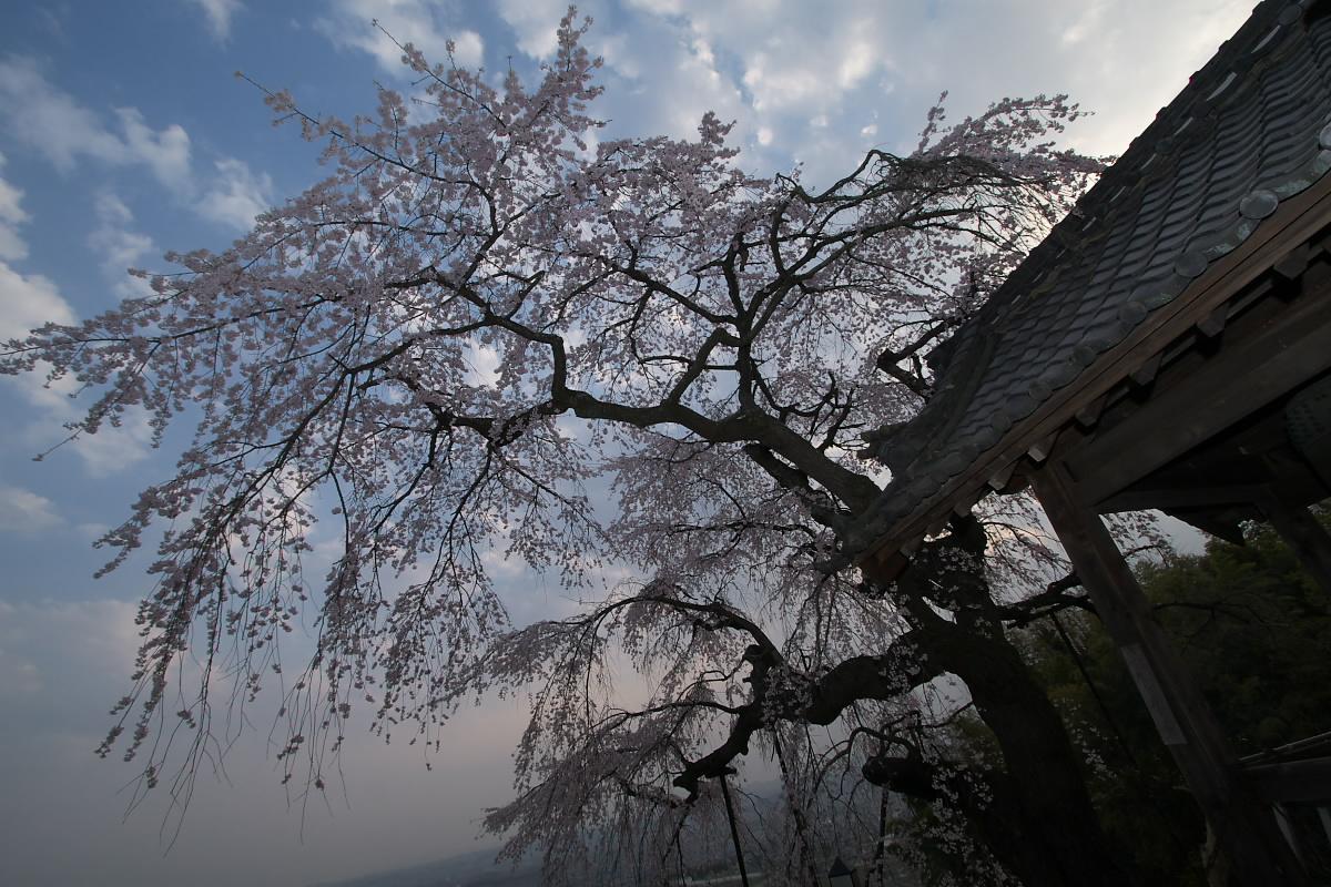京都 井手町 地蔵禅院 枝垂れ桜 _f0021869_8322928.jpg