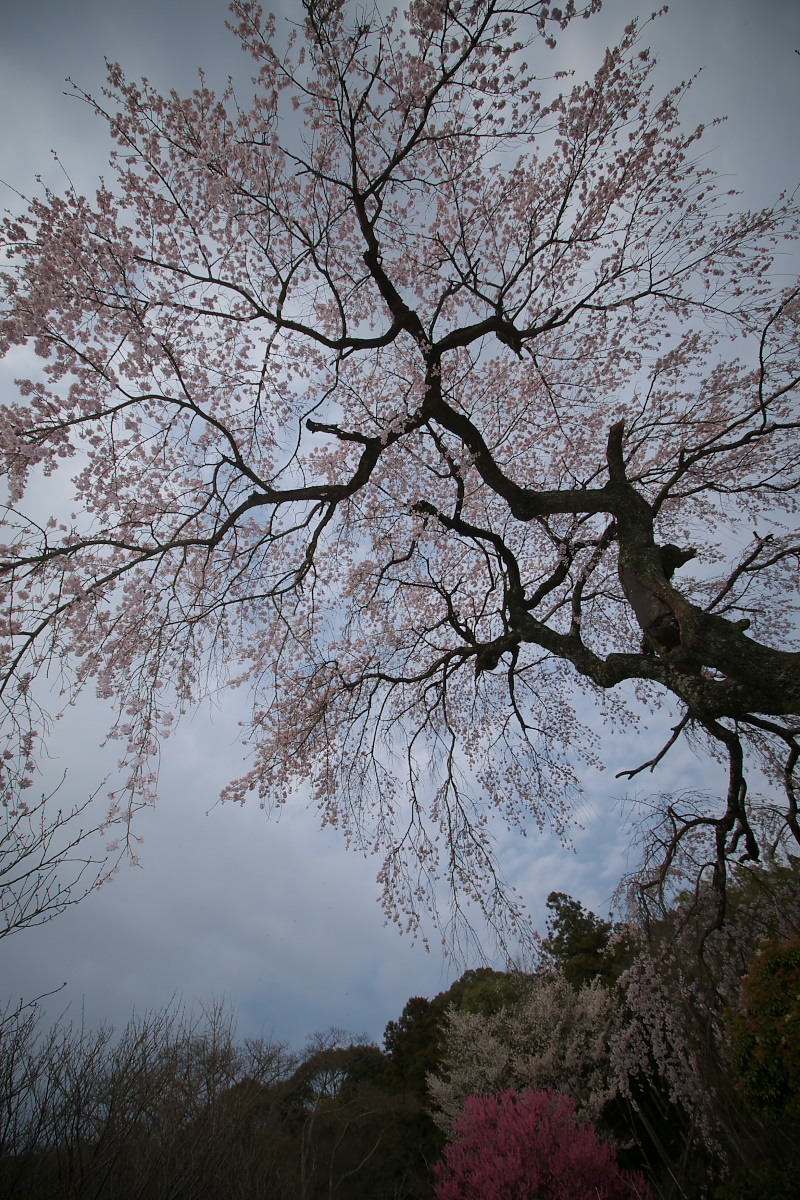 京都 井手町 地蔵禅院 枝垂れ桜 _f0021869_8395421.jpg