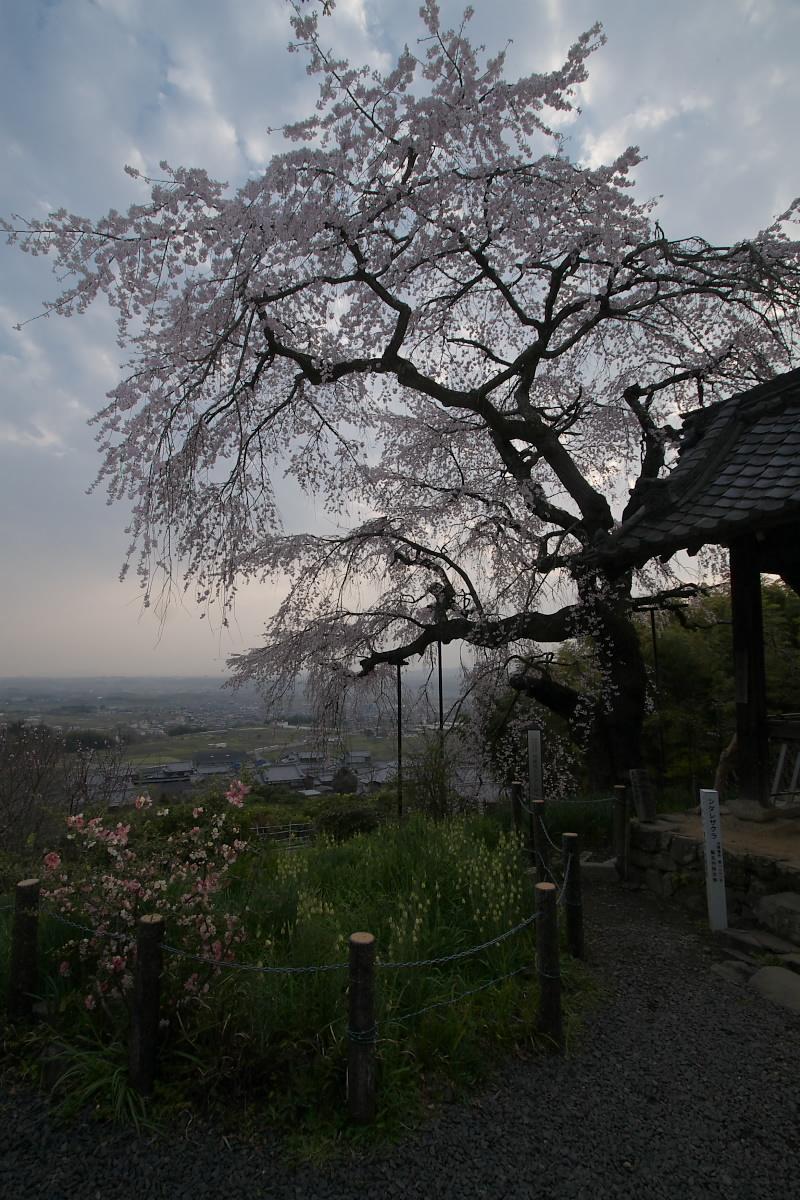 京都 井手町 地蔵禅院 枝垂れ桜 _f0021869_8423869.jpg