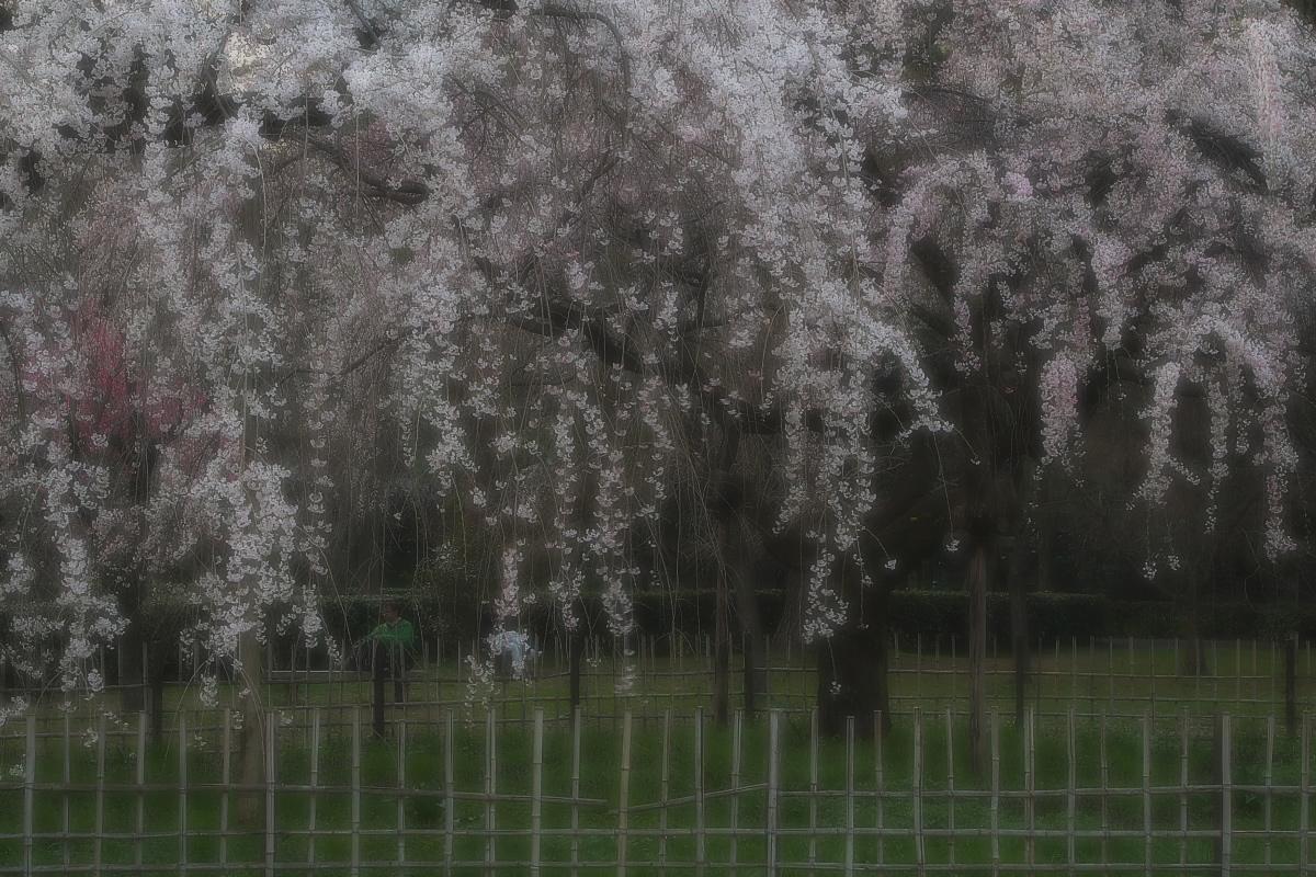 京都御所 桜_f0021869_926464.jpg