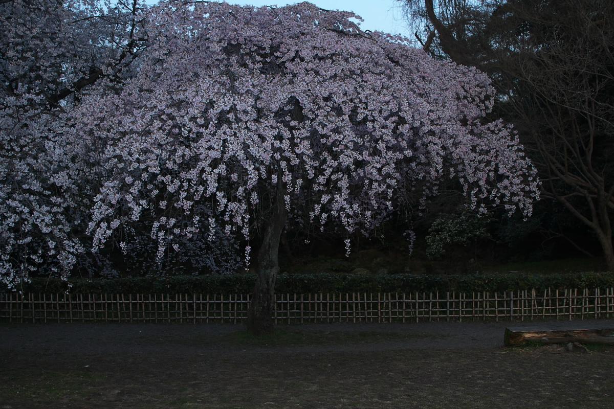 京都御所 桜_f0021869_9285192.jpg