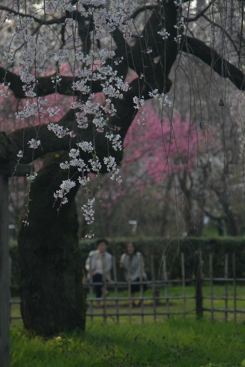京都御所 桜_f0021869_931841.jpg