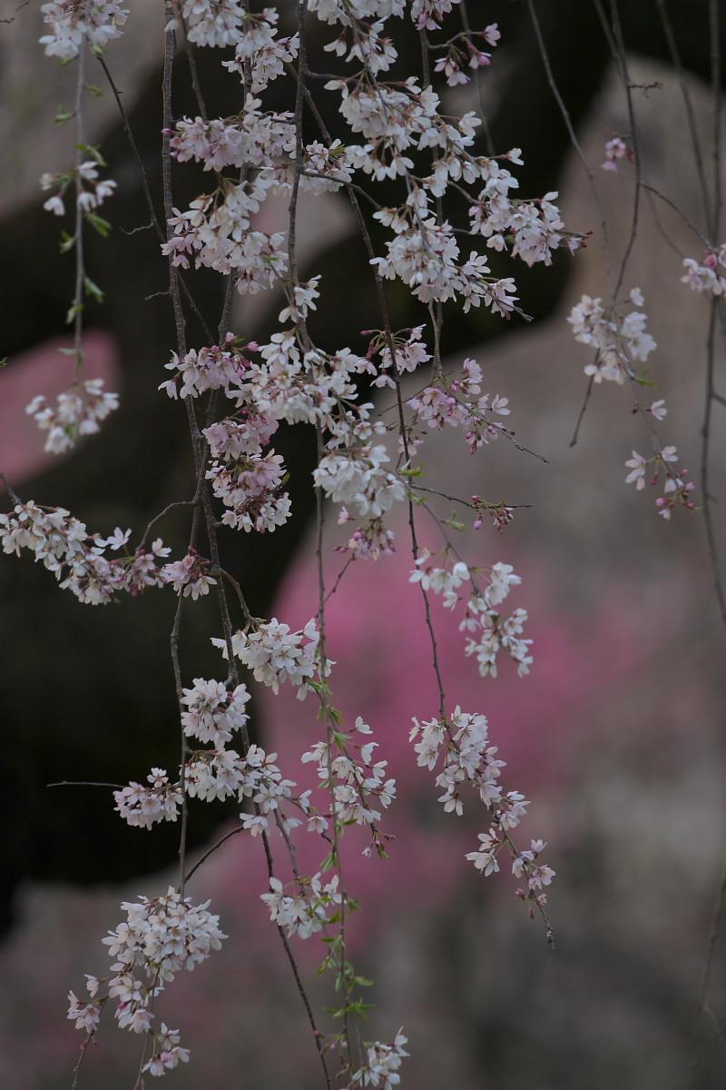 京都御所 桜_f0021869_9321312.jpg