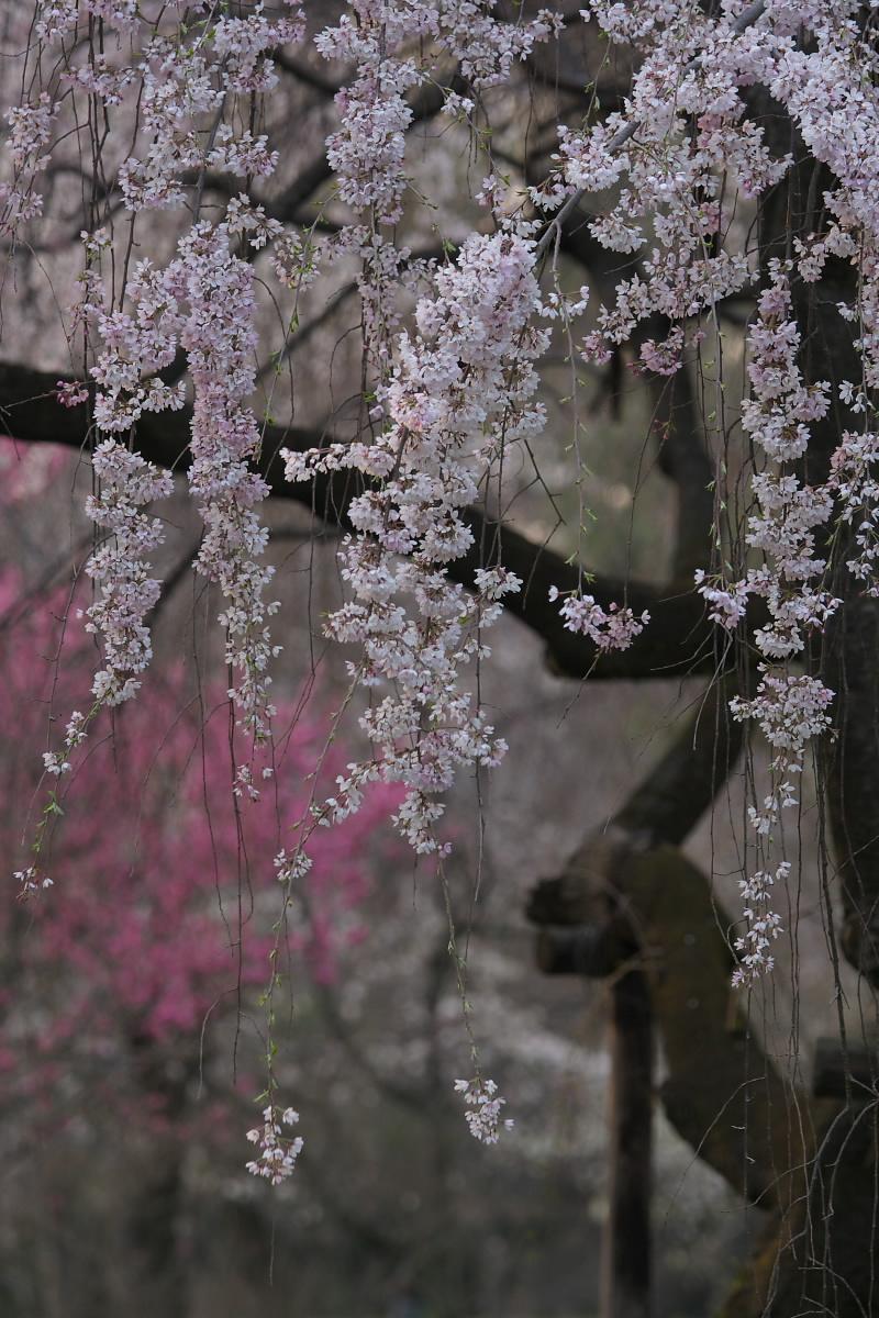 京都御所 桜_f0021869_932394.jpg