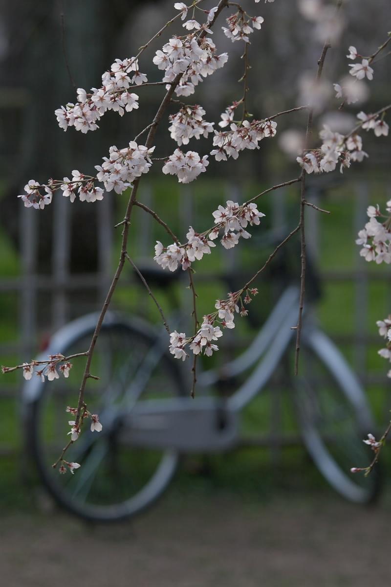 京都御所 桜_f0021869_934712.jpg