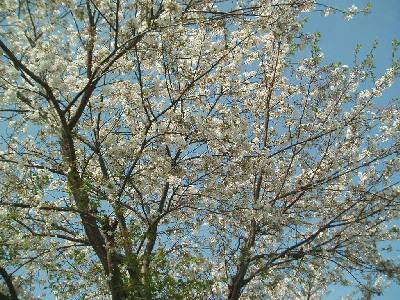 桜舞い散る_a0077071_17462941.jpg
