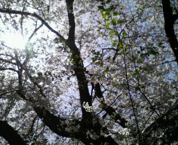 『桜』_a0087471_2135596.jpg