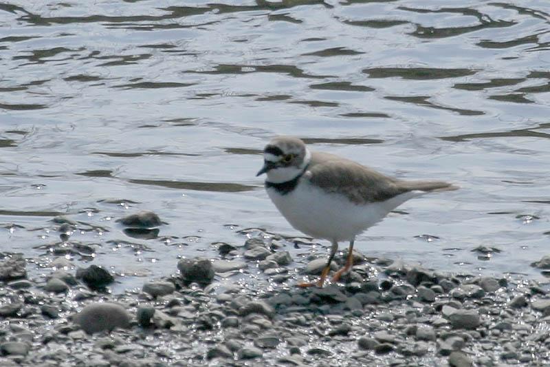 河原も夏鳥の季節です_b0024798_6292758.jpg