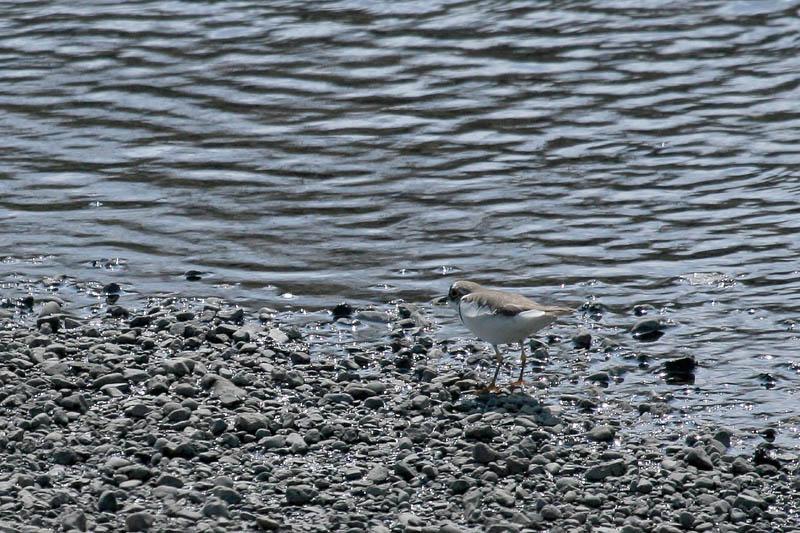 河原も夏鳥の季節です_b0024798_6293968.jpg