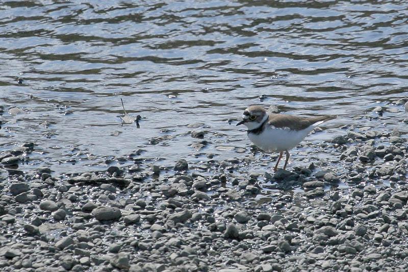 河原も夏鳥の季節です_b0024798_6295061.jpg
