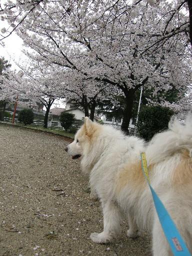 レオの散歩 花見編_f0128542_23363177.jpg