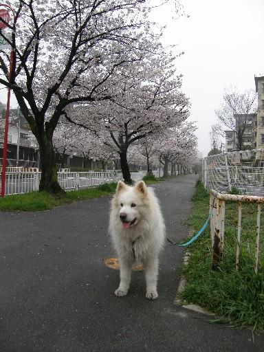 レオの散歩 花見編_f0128542_23401758.jpg