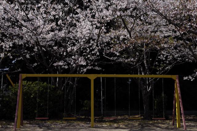 公園にあるブランコ。二人掛けと三人掛けのブランコです。背景の桜がブランコの上空まで枝をのばしていました。