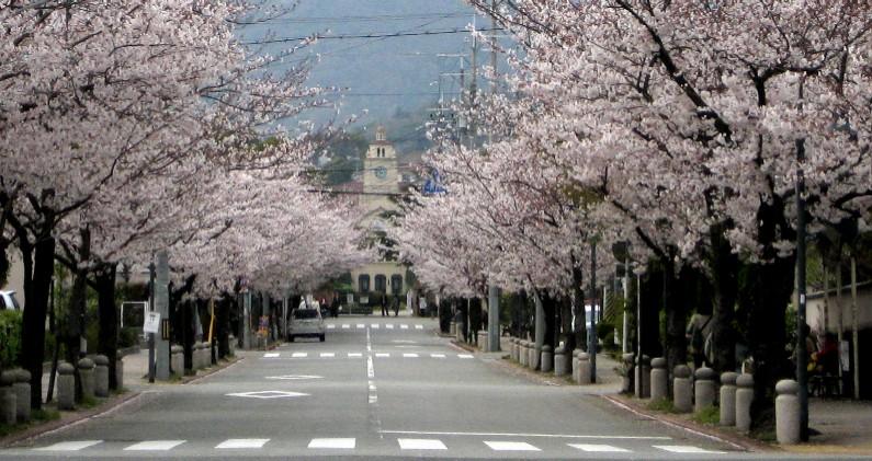 満開の学園花通り           於・消防署前  8日_c0009275_235326.jpg