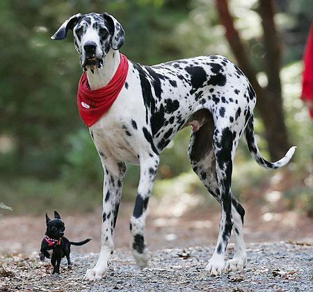 グレートデン : 優しい巨人!犬の中のアポロン神!グレートデン画像集 - NAVER まとめ