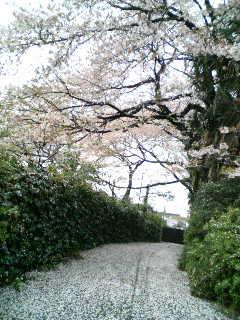 桜吹雪_f0064823_18282652.jpg