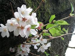井の頭公園・名残の桜~_c0079828_1439533.jpg