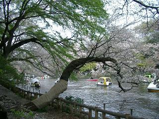井の頭公園・名残の桜~_c0079828_14562180.jpg