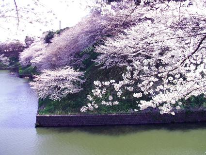 07 千鳥が淵の桜_d0003401_1058426.jpg