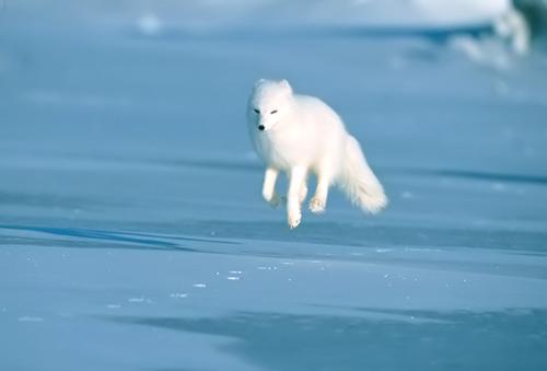 原來北極狐這麼可愛QoQ_c0073742_0234894.jpg