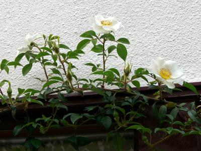駒場も、お花が見頃です。_a0026127_10441541.jpg