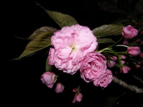 初めての 通り抜けの桜!_f0128542_23483475.jpg