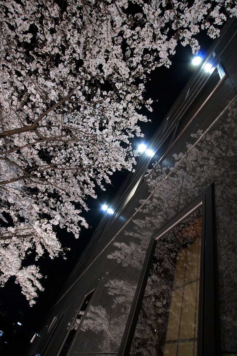 京都 夜桜 スナップ_f0021869_1628214.jpg