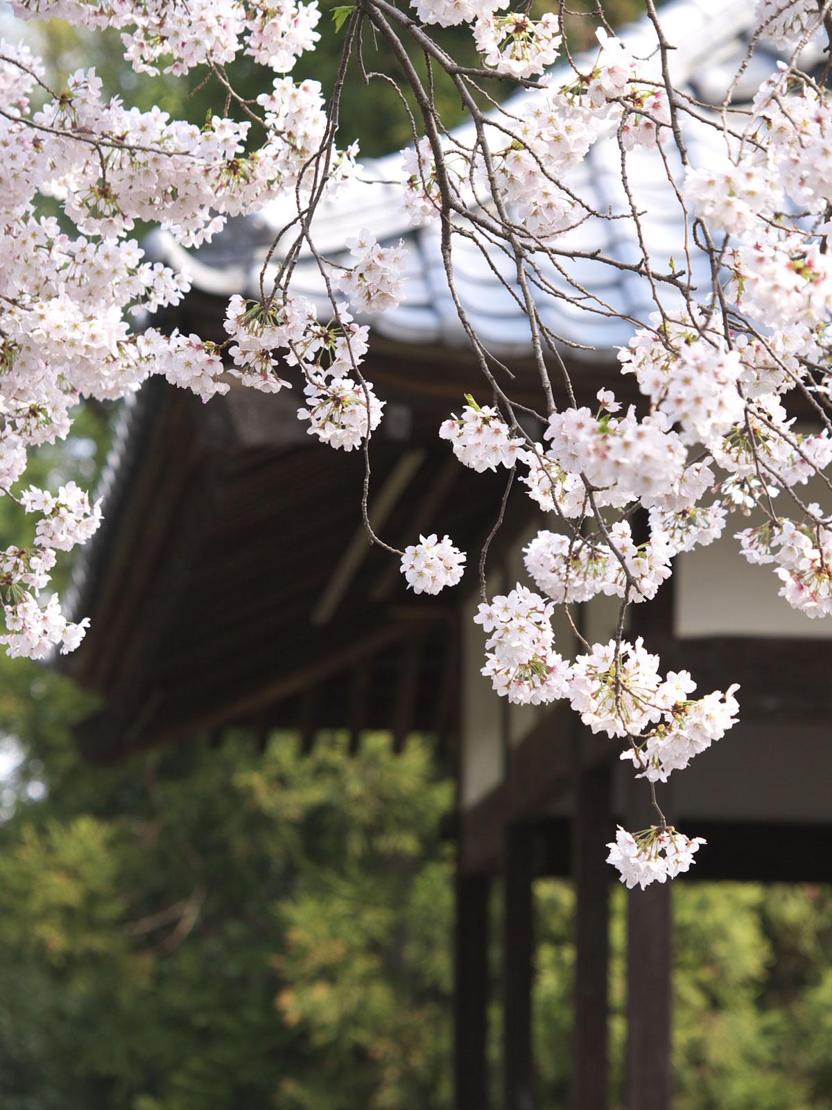 桜の暖簾_f0121181_103178.jpg