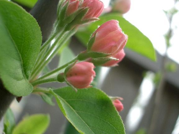 「林檎の花」_b0087994_21173664.jpg