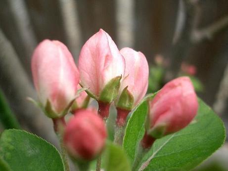 「林檎の花」_b0087994_21193085.jpg