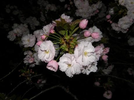 通り抜けの桜 続報_f0128542_0111819.jpg