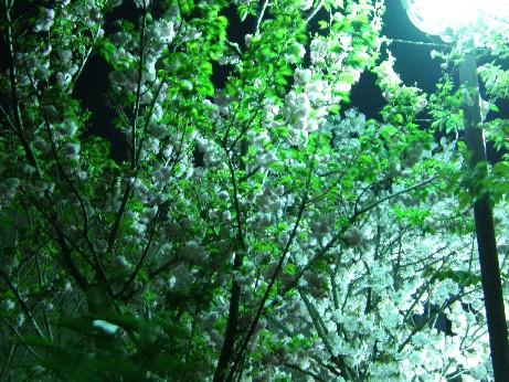 通り抜けの桜 続報_f0128542_018385.jpg