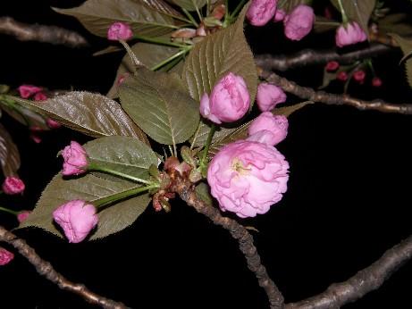 通り抜けの桜 続報_f0128542_07110.jpg