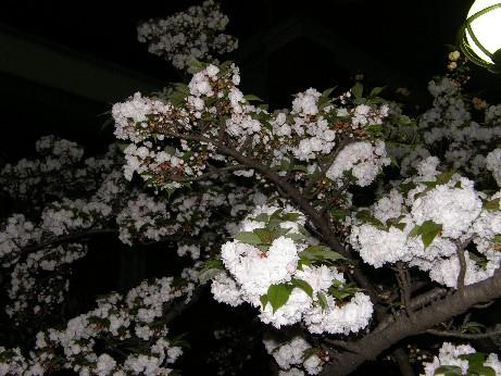 通り抜けの桜 続報_f0128542_084715.jpg