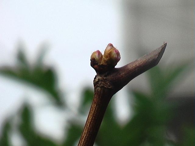 葡萄の挿し木、接ぎ木_e0094102_9451764.jpg