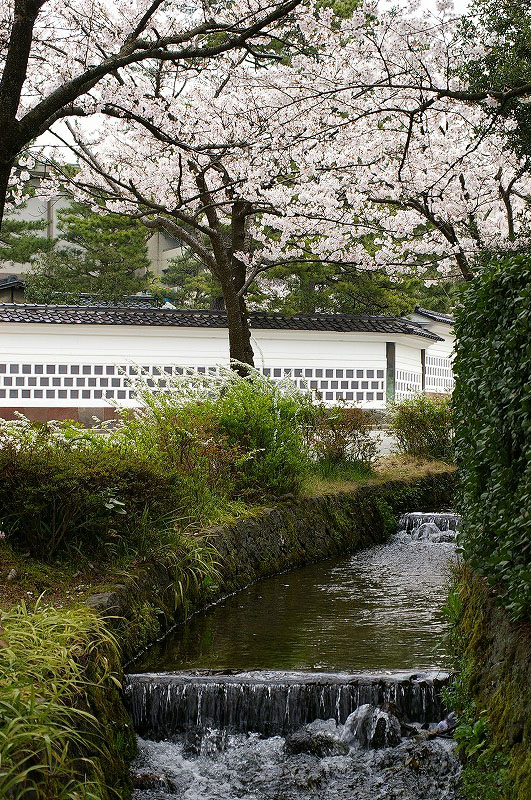 桜満開の金沢_d0043136_19225440.jpg