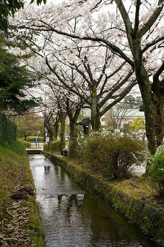 桜満開の金沢_d0043136_19234237.jpg
