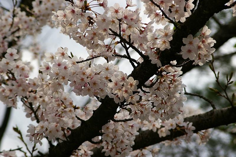 桜満開の金沢_d0043136_20383214.jpg