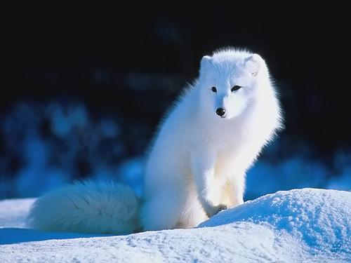 原來北極狐這麼可愛QoQ_c0073742_2314013.jpg