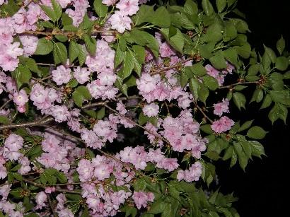 初めての 通り抜けの桜!_f0128542_2359196.jpg