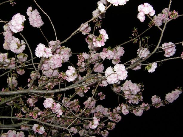 初めての 通り抜けの桜!_f0128542_23594364.jpg