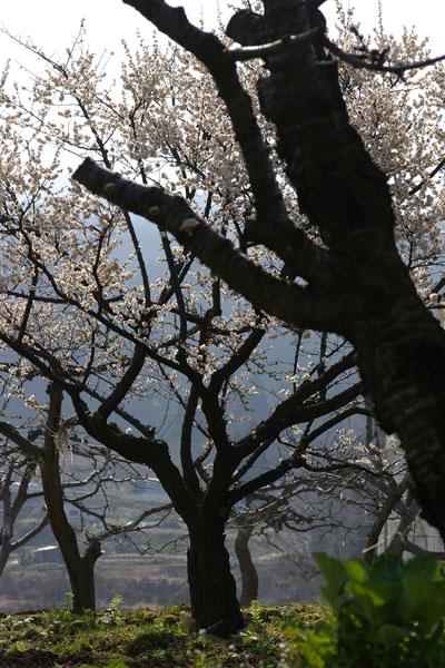 桜、開花。梅は見納め。_e0084756_23413266.jpg
