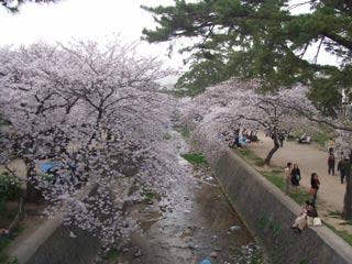 桜満開_b0054727_1047548.jpg
